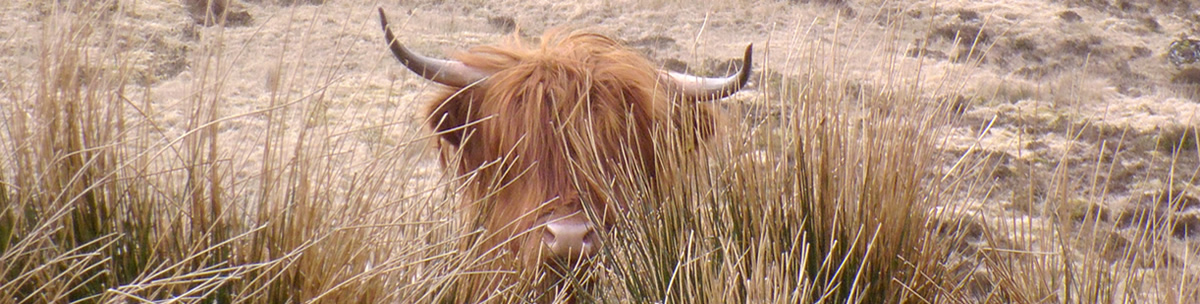 Highland Cow Ardnamurchan Scotland