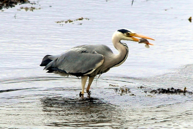 Heron fishing in Loch Sunart Ardnamurchan Scotland