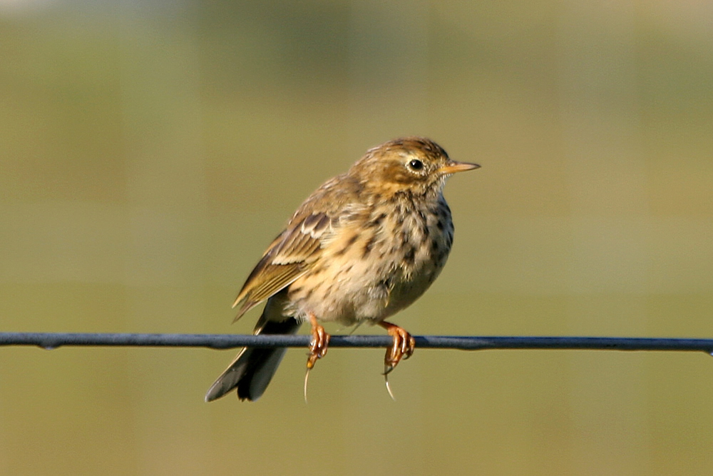 Meadow Pipit Ardnamurchan Scotland