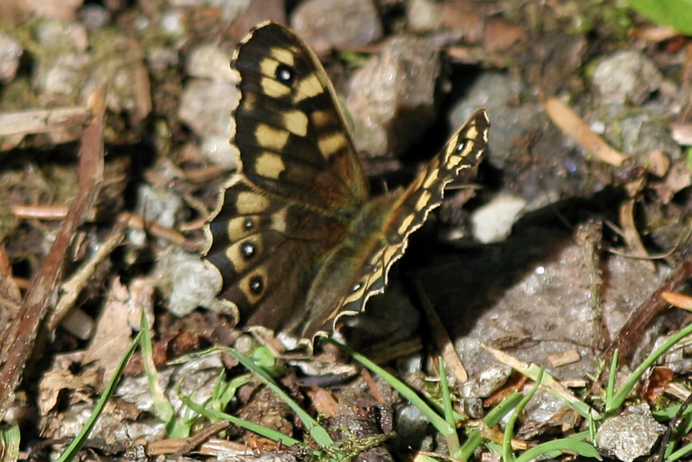 Speckled wood butterfly Ardnamurchan Scotland
