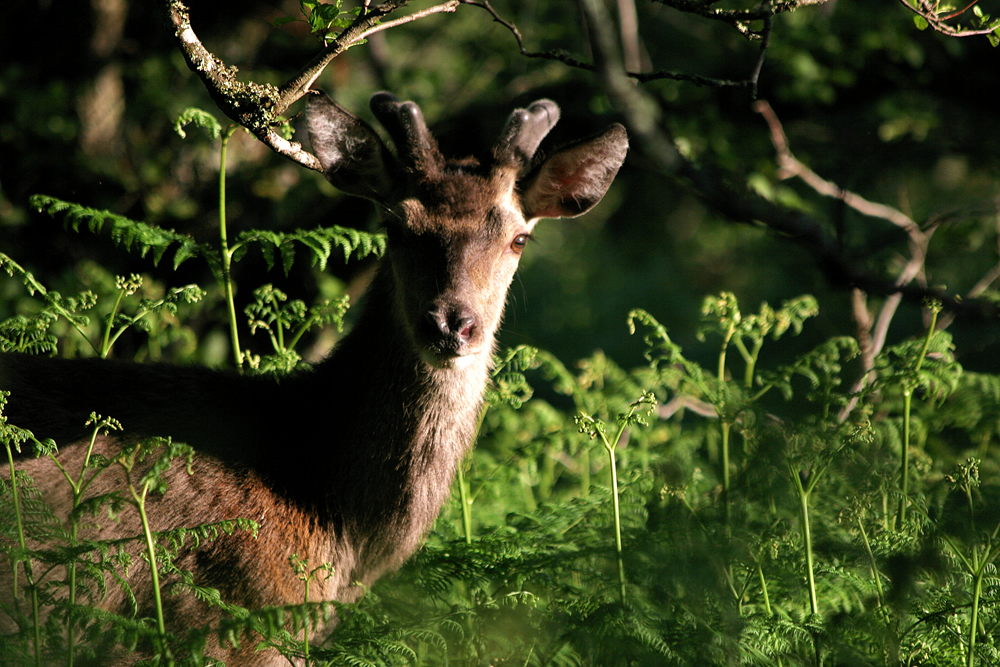 Red Deer buck Ardnamurchan Scotland