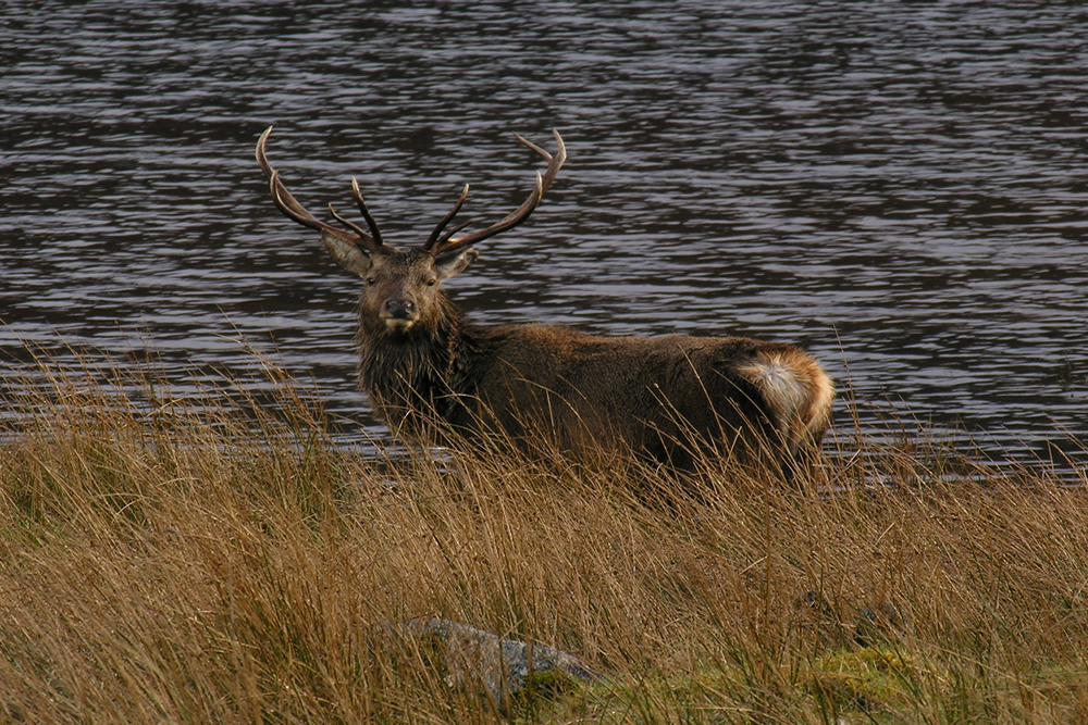 Red Deer Stag by Loch Sunart Ardnamurchan Scotland